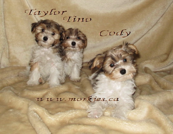Gorgeous Morkie puppies are for sale at http://www.morkie.ca