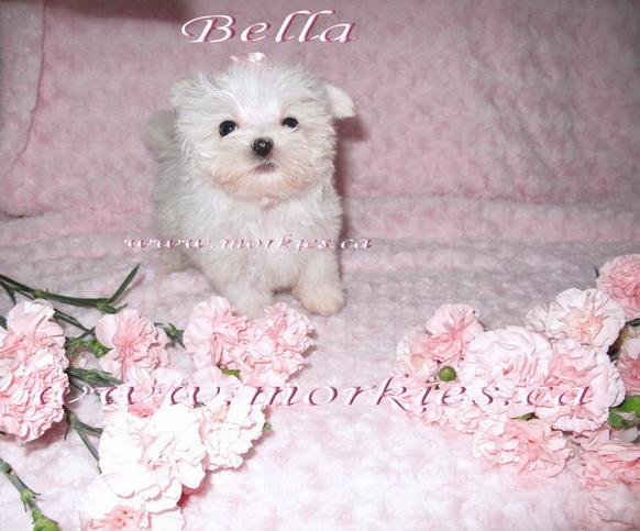 Small white morkie is sold