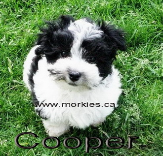 black and white morkie