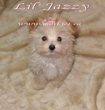 Teacup Morkie female Jazzy is sold. http://www.morkies.ca