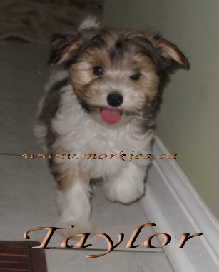Gorgeous Morkie puppy , Taylor is adopted to Sheron and Sim http://www.morkies.ca